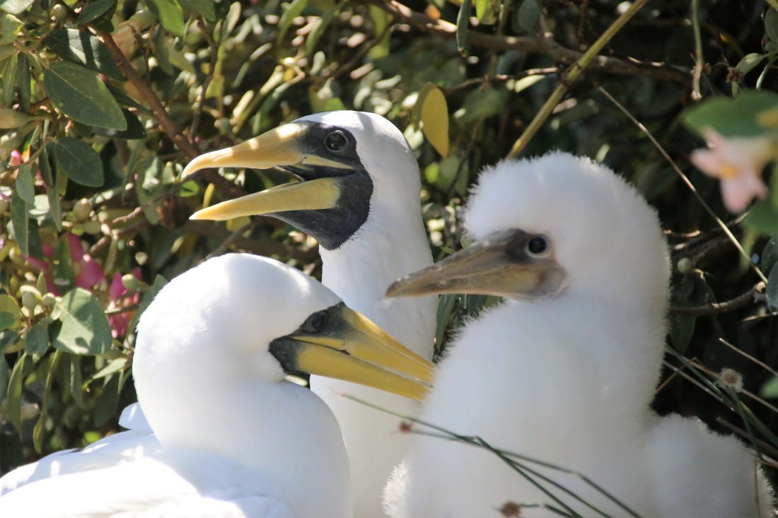 1. Masked booby