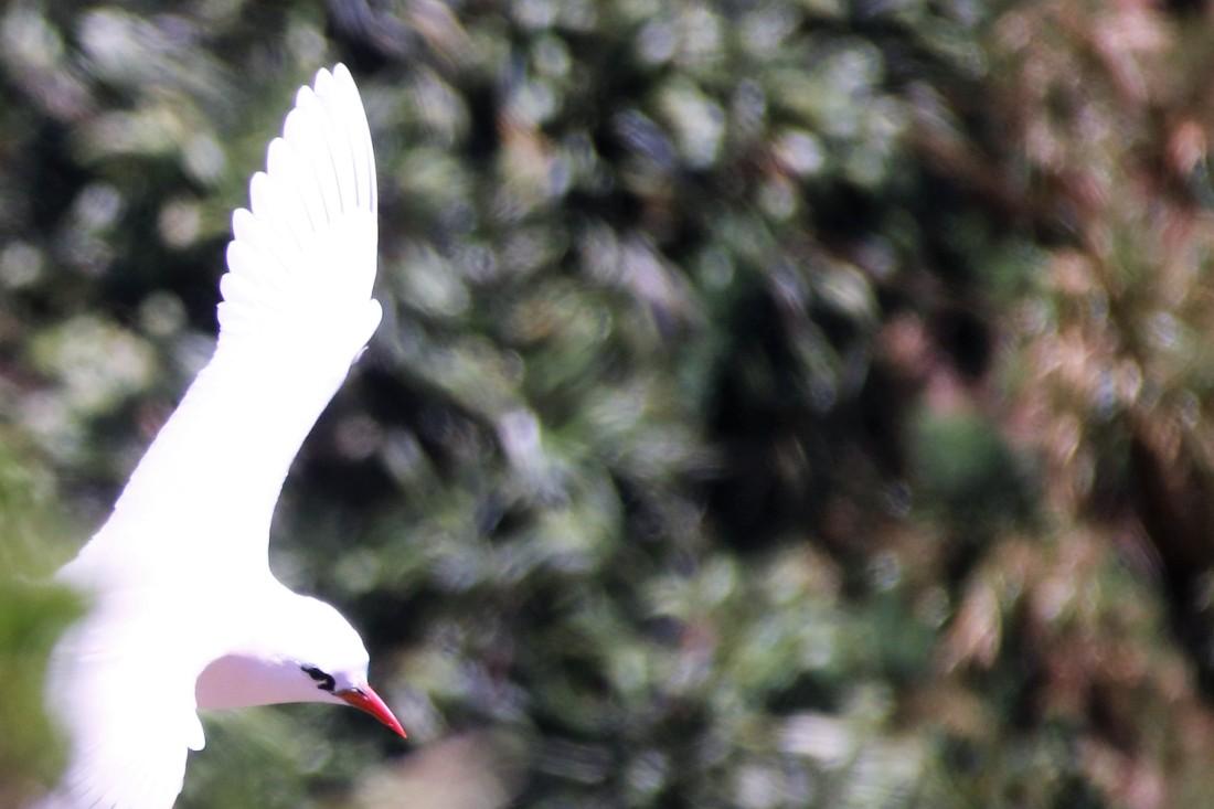 12. Tropicbird