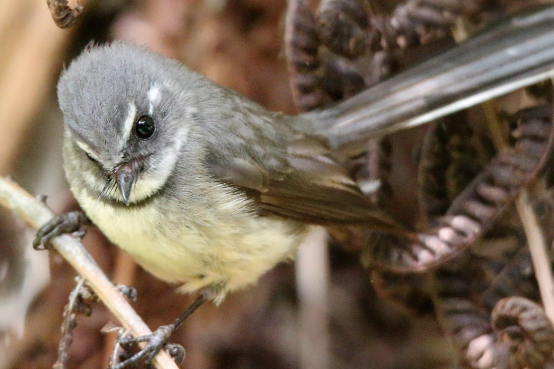 19. Grey fantail (endemic)