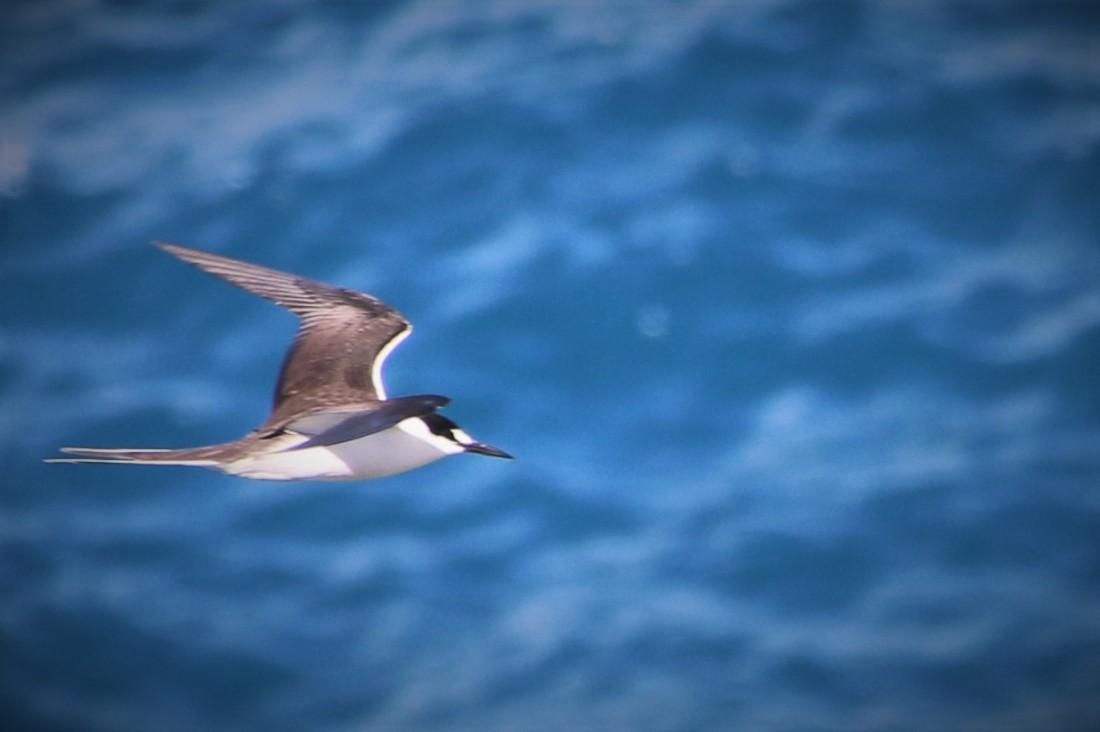 2. Sooty tern