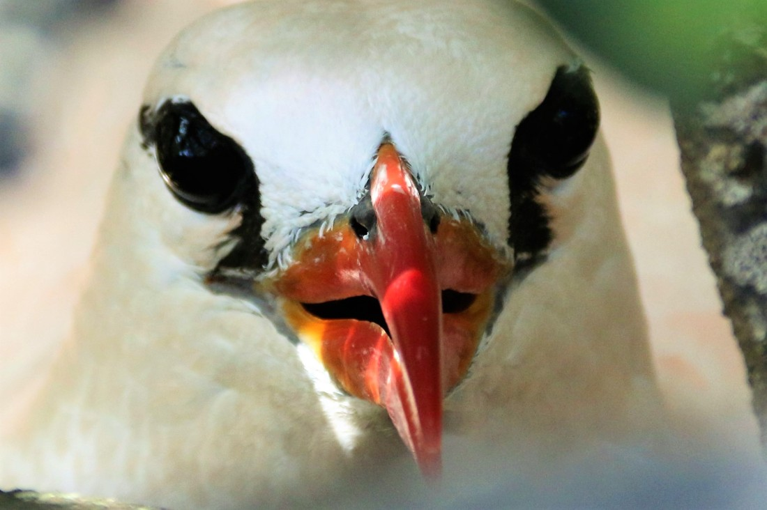 22.Baby tropic bird