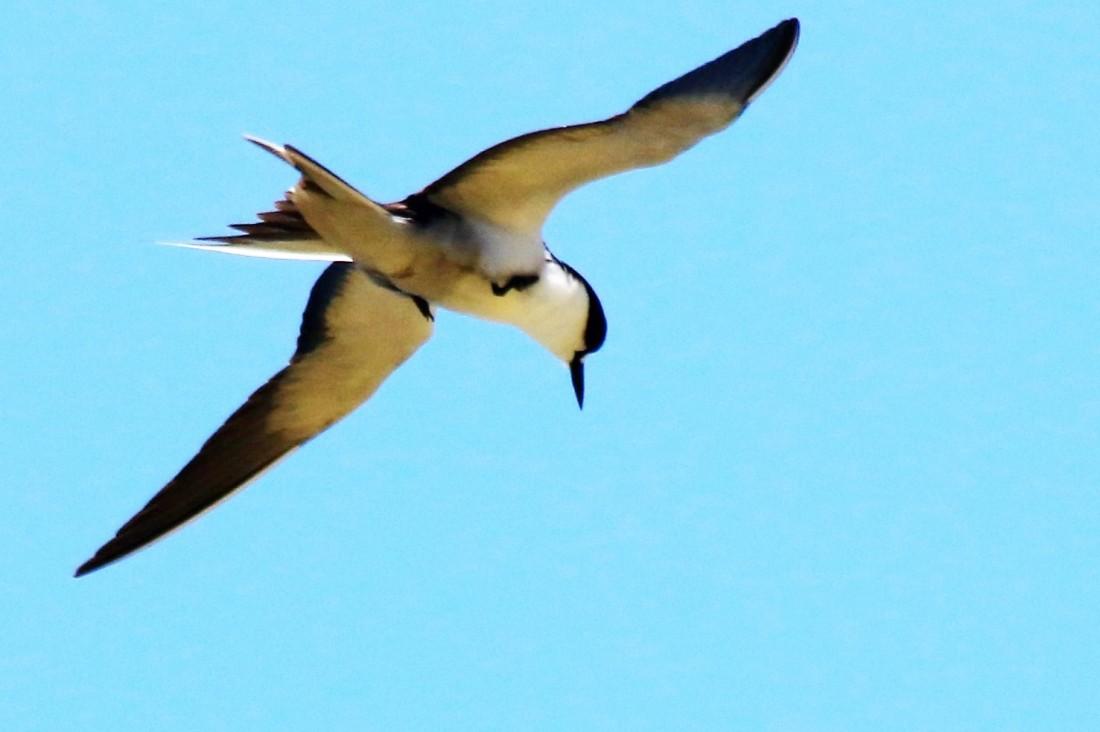 23. Sooty tern