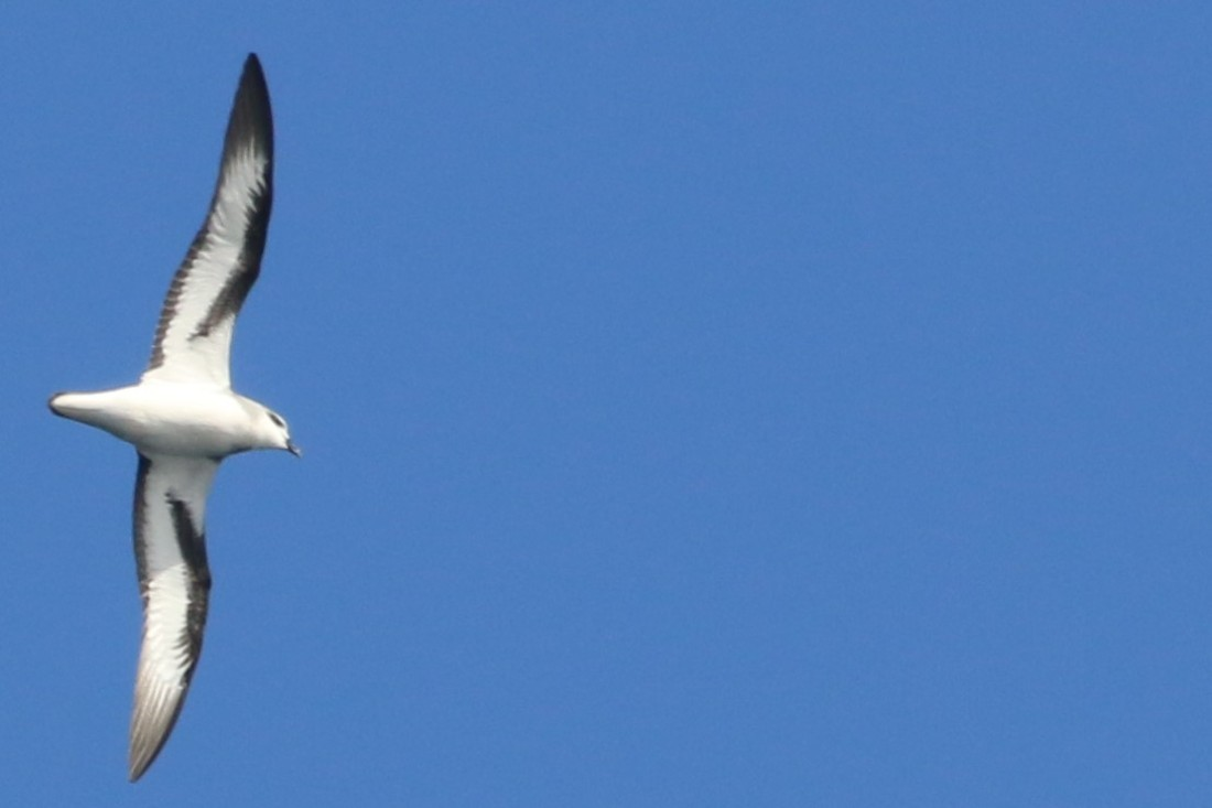 24. Black winged petrel