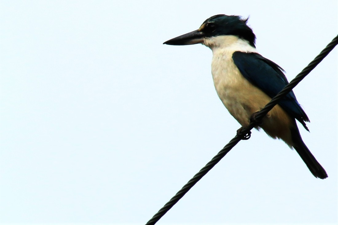 3. Sacred kingfisher (endemic)