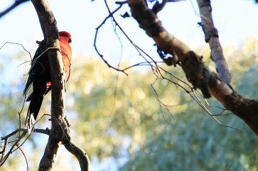 parrot, king