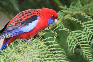 rosella crimson adult m3