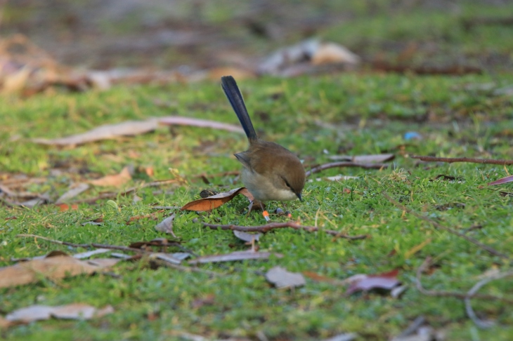 Superb fairy wren m nonbr