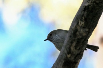 thornbill, striated