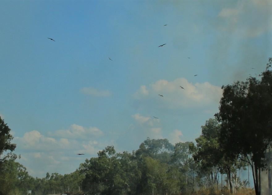 Kites love bushfires