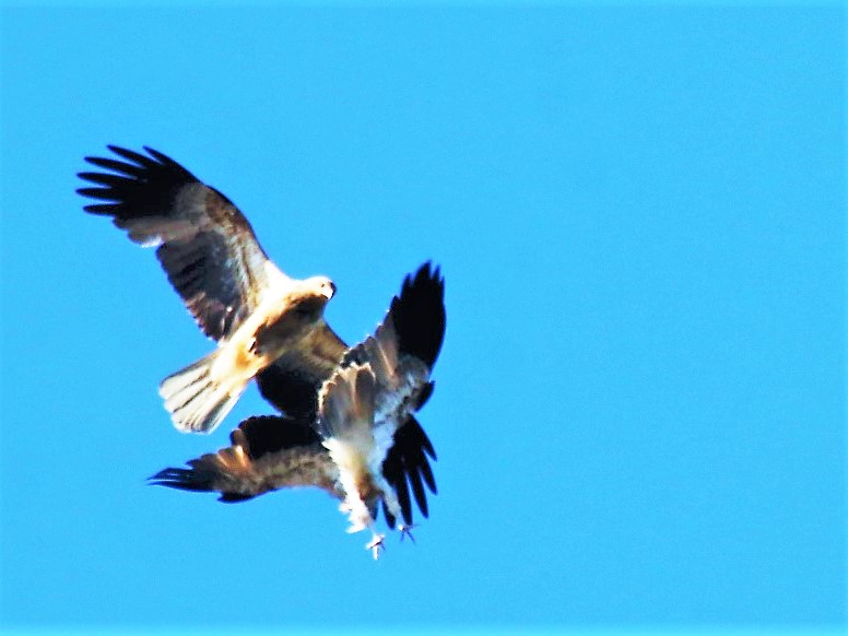 white-bellied sea-eagle battle