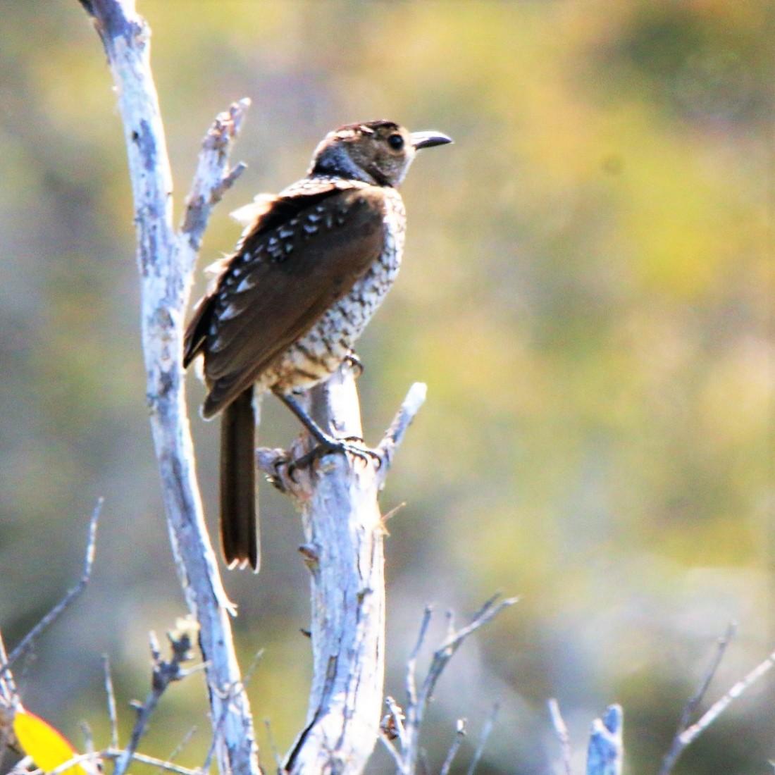 Bowerbird, Regent F l