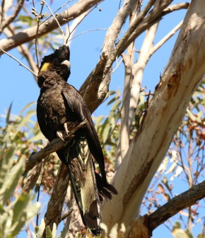 Cockatoo, Yellow-tailed black l