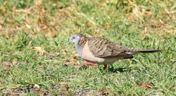 Dove, Bar-shouldered