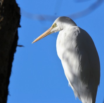 Egret, Intermediate non br 3