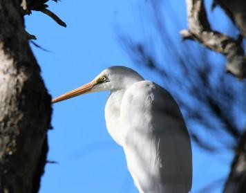 Egret, Intermediate non br