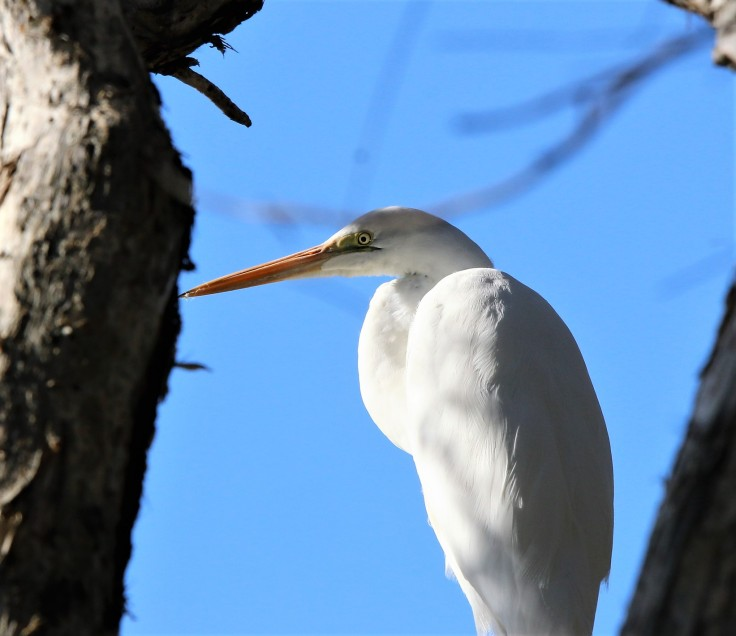 Egret, Intermediate non br2