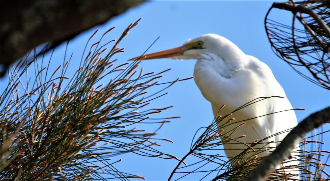 Egret, Intermediate non br3