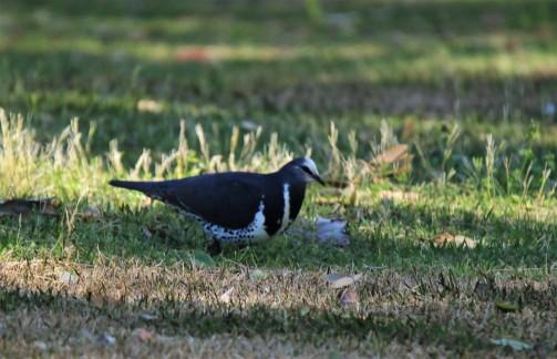 Pigeon, Wonga