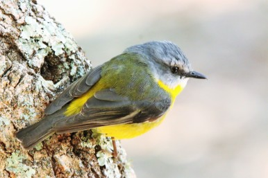 Robin, Eastern Yellow10