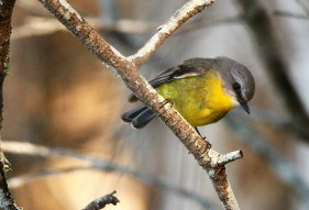 Robin, Eastern Yellow2