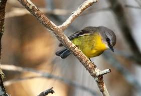Robin, Eastern Yellow2
