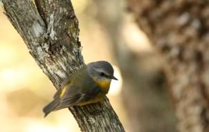 Robin, Eastern Yellow4