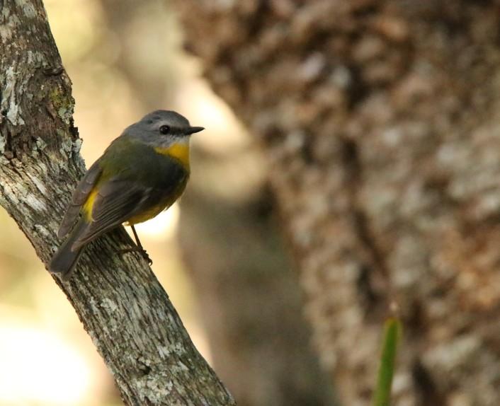 Robin. Eastern Yellow5