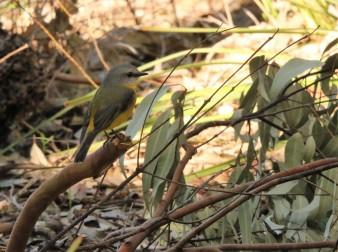 Robin, Eastern Yellow6