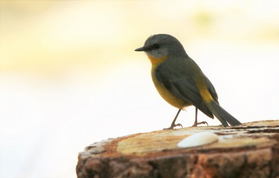 Robin, Eastern Yellow7