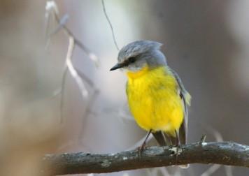Robin, Eastern Yellow8