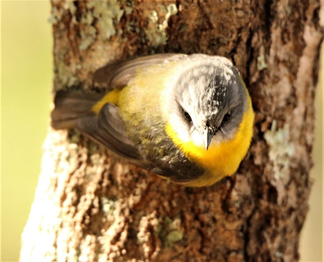 Robin, Eastern Yellow9
