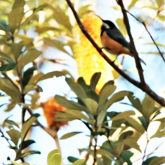 Spinebill, eastern