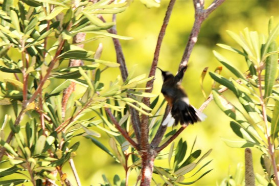 Spinebill, Eastern2