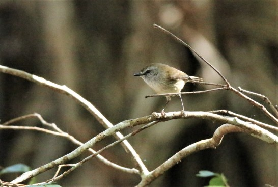 Thornbill, Yellow (2)