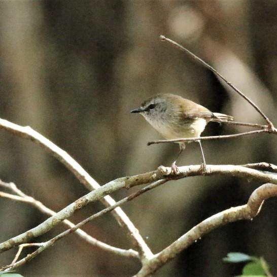 Thornbill, Yellow (2)