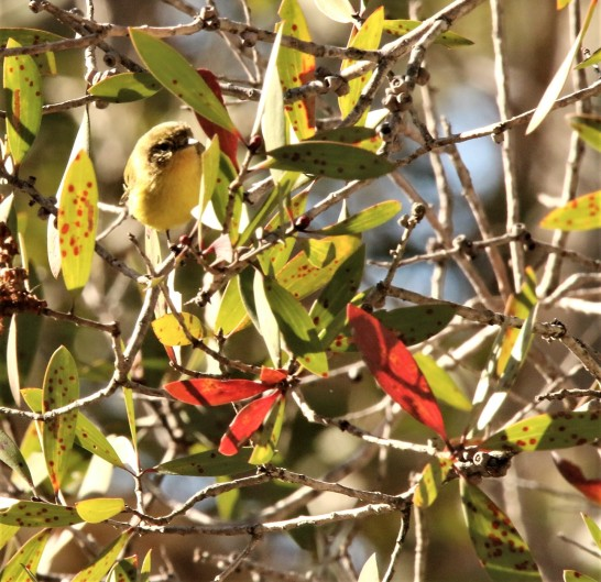 Thornbill, Yellow