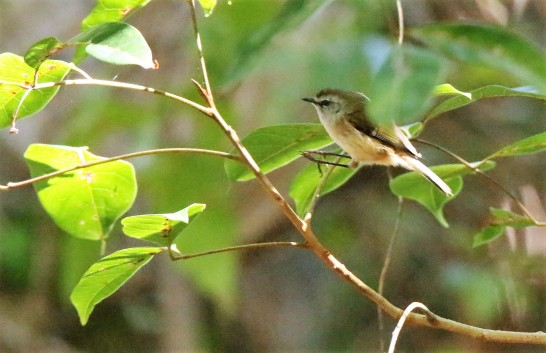 Thornbill, Yellow3