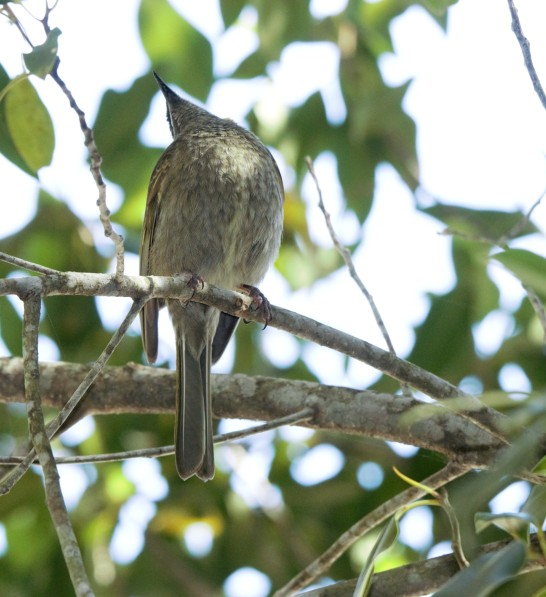 Wattlebird, Red