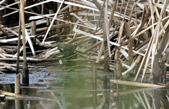 Crake, Spotted 2