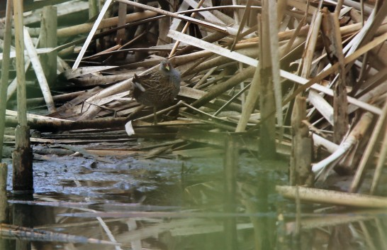 Crake, Spotted 3
