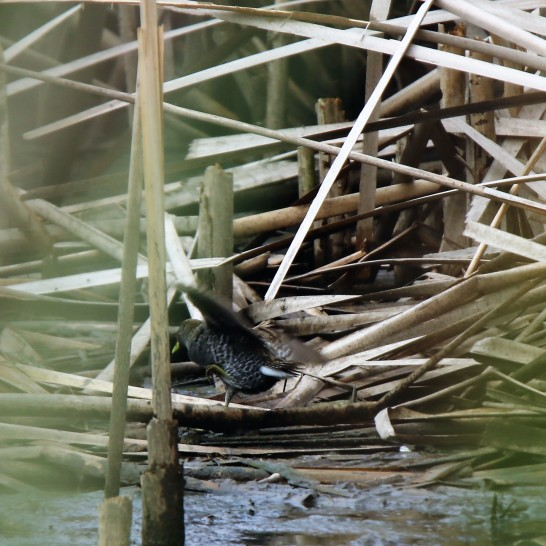 Crake, Spotted 4