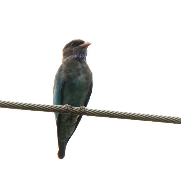 Dollarbird 2