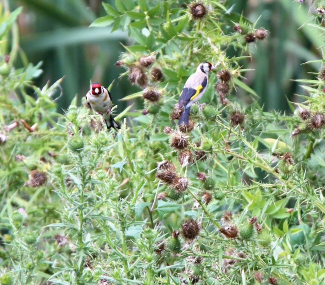 Goldfinch, European (exotic)