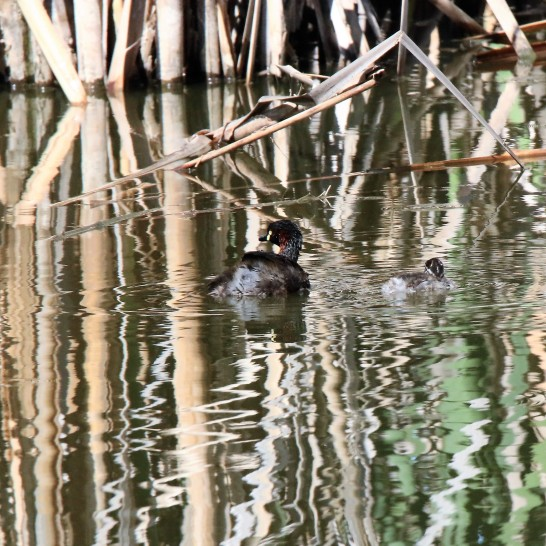 Grebe, Australasian (m br) and chicks