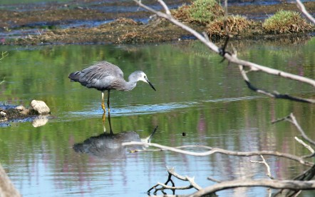 Heron, White-faced 2