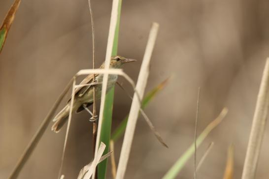 Reed-warbler, Australian 2