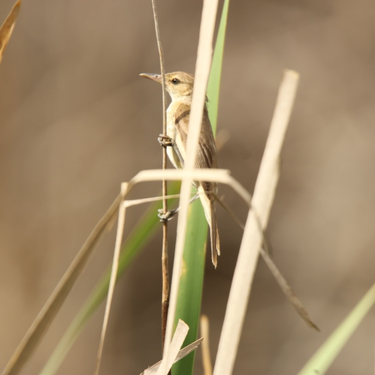 Reed-warbler, Australian 3