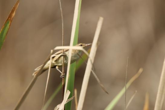 Reed-warbler, Australian 4