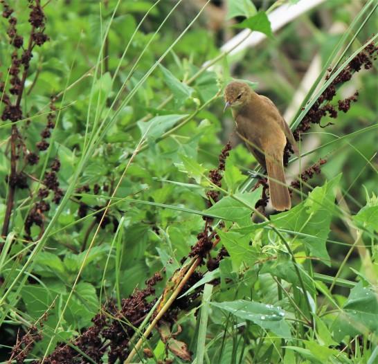 Reed-warbler, Australian