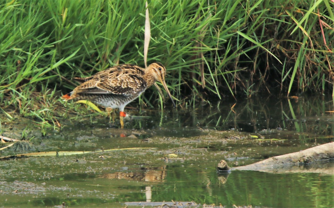 Snipe, Latham's (banded #74)